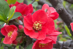 flowering quince 緋紅木瓜