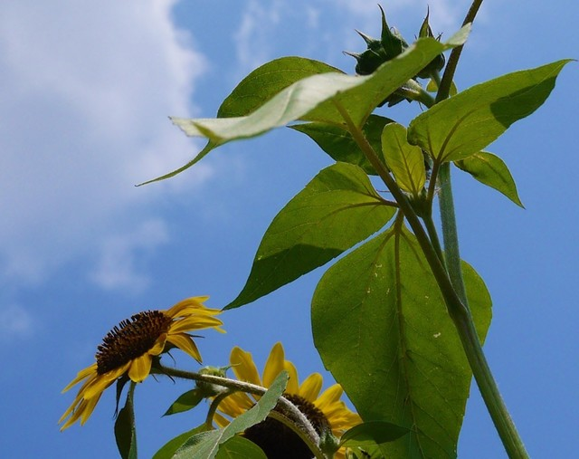 20190731 sunflower.JPG