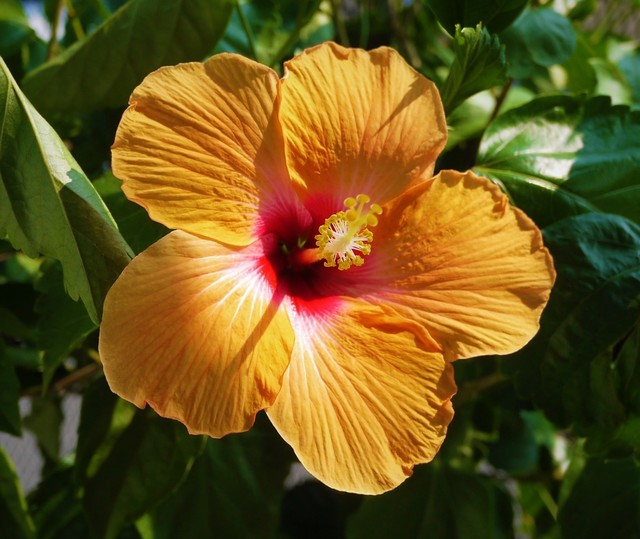 20190801 hibiscus orange.JPG