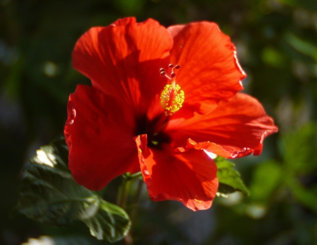 20190804 hibiscus red.JPG