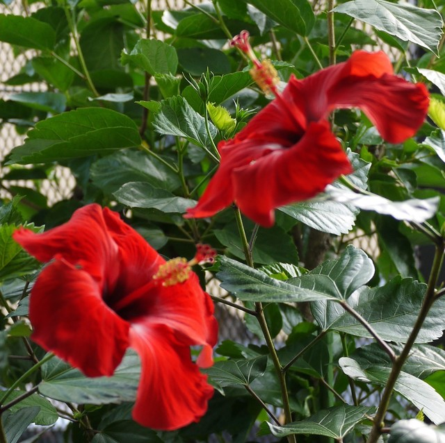 20190813 hibiscus red.JPG