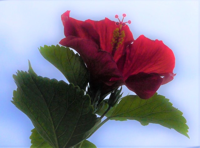 20190814 hibiscus red.JPG