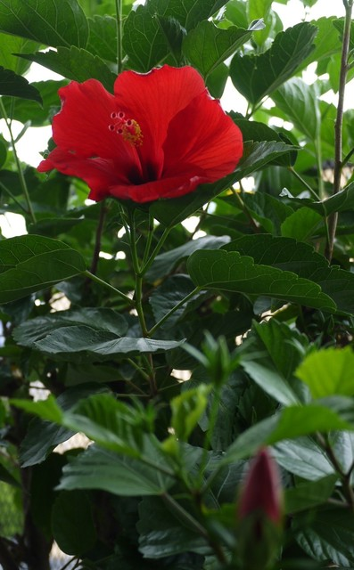 20190816 hibiscus red.JPG