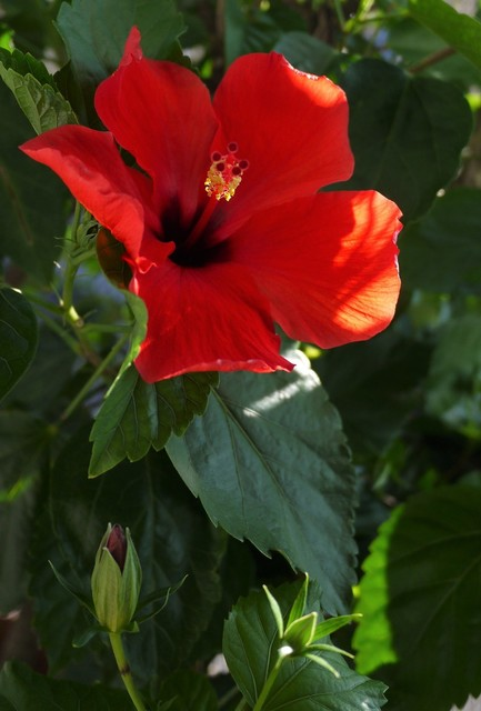 20190817 hibiscus red.JPG