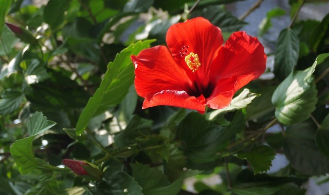 20190818 hibiscus red.JPG