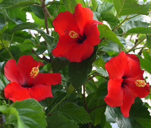 20190819 hibiscus red.JPG