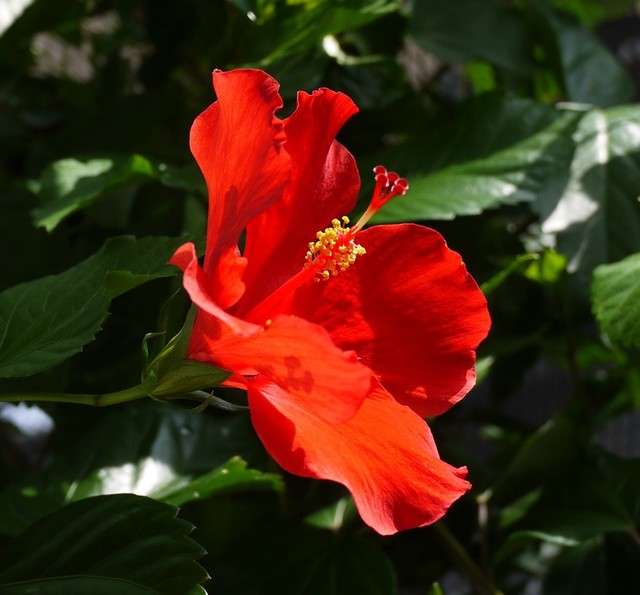 20190821 hibiscus red.JPG