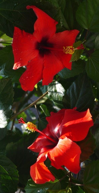 20190825 hibiscus red.JPG