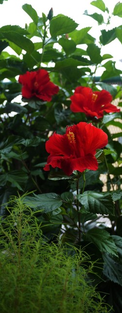 20190828 hibiscus red.JPG