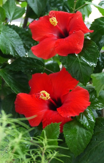 20190830 hibiscus red.JPG