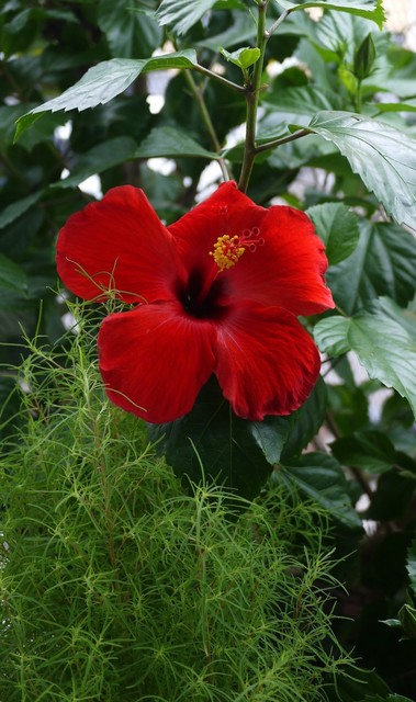 20190903 hibiscus red.JPG