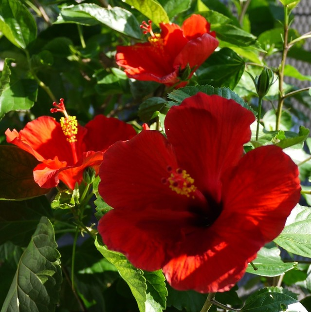 20190910 hibiscus red.JPG