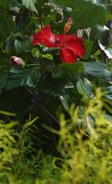 20190911 hibiscus red].JPG
