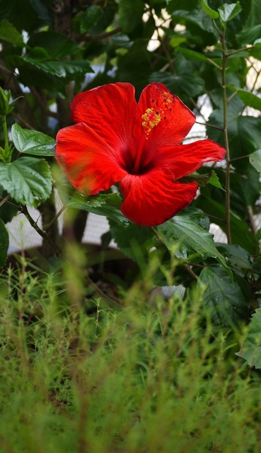 20190924 hibiscus red.JPG