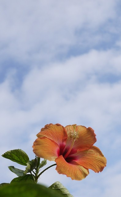 20190926 hibiscus orange.JPG