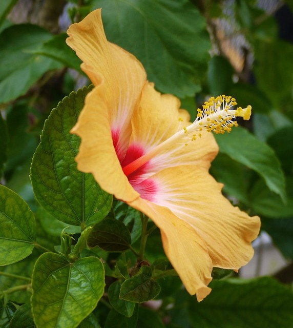 20191021 hibiscus orange.JPG