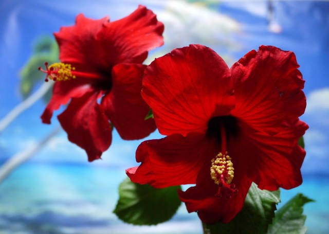 20191026 hibiscus red.JPG