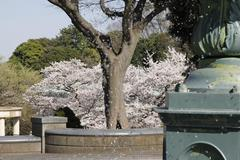 Minatonomieruoka Park 港の見える丘公園で噴水越しの花見 <横浜市中区>