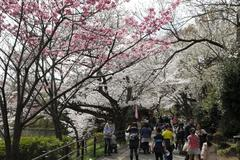 Cherry blossom viewing in Mitsuike Park 桜さく三ツ池
