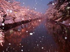 冬の桜(Cherry Blossoms in Winter)