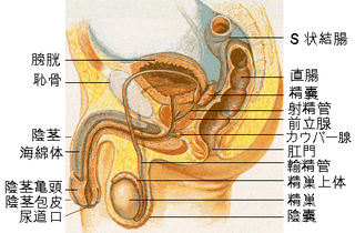 320px-Male_reproductive_system_lateral_ja.png