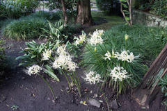 white spider lily 金龍院のシロバナマンジュシャゲ(白花曼珠沙華)