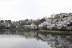 Mitsuike Park 探訪 三ッ池公園の桜