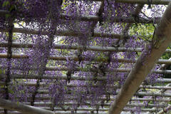 Japanese wisteria 三渓園 フジ(藤)