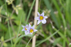 Annual Blue Eyed Grass 三渓園 ニワゼキショウ(庭石菖)