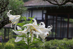 gold-banded lily 三溪園 ヤマユリ