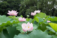 Lotus flower viewing 三溪園 観蓮