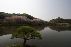 Full bloom cherry blossoms 桜が満開