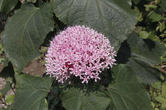 Clerodendron bungei ボタンクサギ(牡丹臭木)