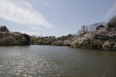 Mitsuike Park 三ツ池公園さくらまつり <横浜市鶴見区>
