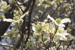 flowering dogwood 花水木